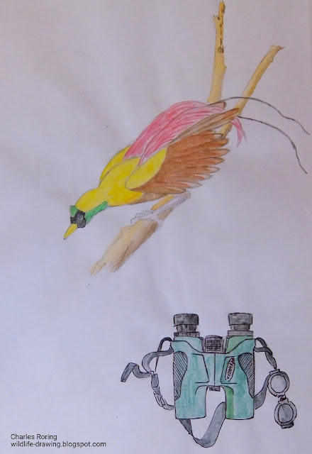 Drawing of a Red Bird of Paradise (Paradisaea rubra) and a birding binoculars