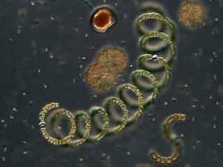 anabaena sp