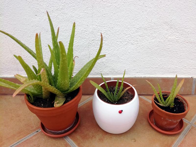 Foto: vasi con Aloe vera