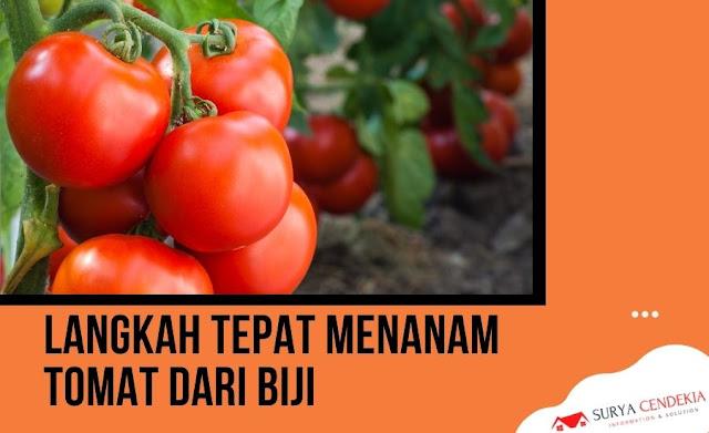 Langkah Tepat Menanam Tomat dari Biji