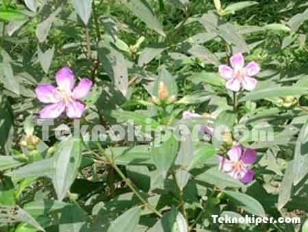 Khasiat tanaman sebagai obat herbal