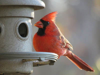 Photo of Northern Cardinal on bird feeder