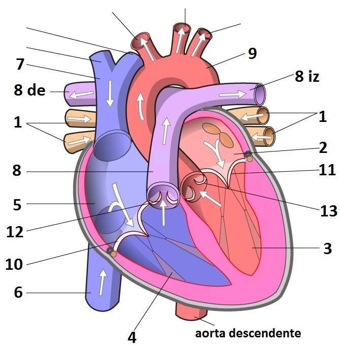 BLOG DEL ÁREA DE BIOLOGÍA Y GEOLOGÍA DE 3º: Anatomía del corazón ...