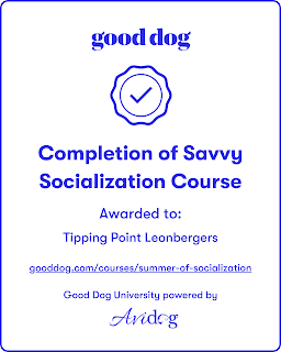 TippingPointLeonbergersSavvySocializationBadge