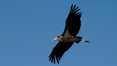 Marabou Stork gliding above the Etosha Pan
