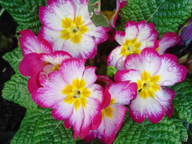 Bright pink primrose flowers with yellow centre