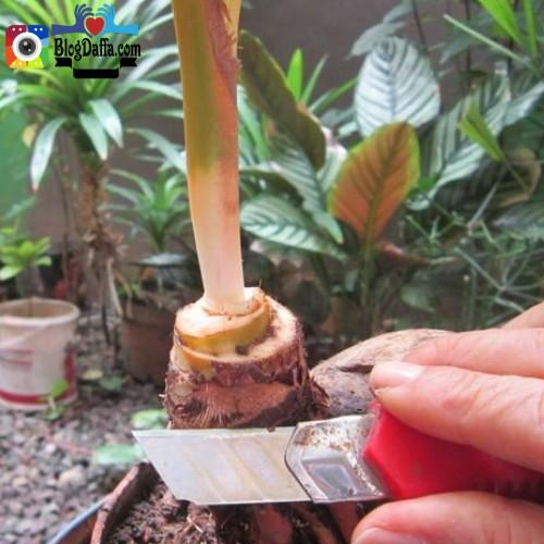 Bentuk Tanaman Bonsai Kelapa