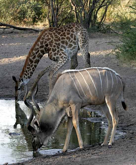 Encyclopaedia Of Babies Of Beautiful Wild Animals: Kudus