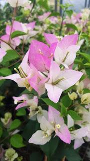 Bougenvile Pink Putih