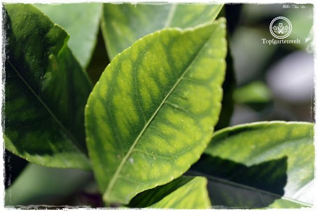 Eisenmangel an Zitronen - Bist du noch zu retten? 100 Gartenproblemen auf die Schliche kommen - Gartenblog Topfgartenwelt