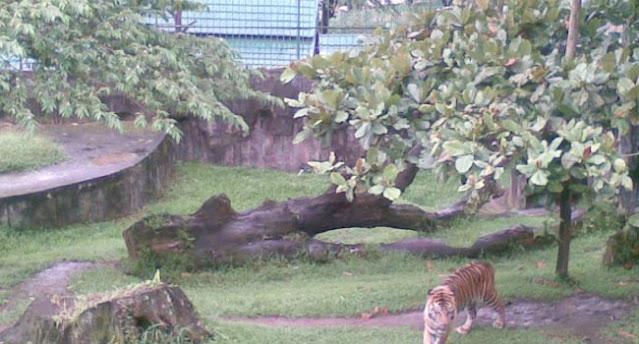 Penanggkaran Harimau Kebun Binatang Bukittinggi
