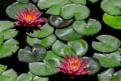 kamal-ka-phool ॥ कमल के फूल का फोटो