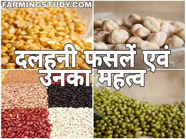 भारत में उगाई जाने वाली प्रमुख दलहनी फसलों के वैज्ञानिक नाम एवं दलहनी फसलों का महत्व, दलहनी फसलों की खेती किसानों के लिए किस प्रकार लाभकारी, dalhani