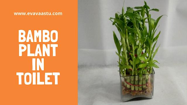 Bambo Plant in Toilet