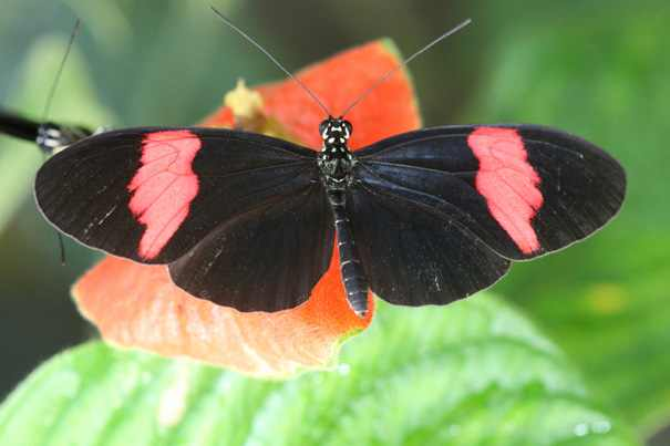 butterfly species general information