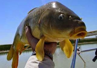 Umpan-Ikan-Mas-Jaruh