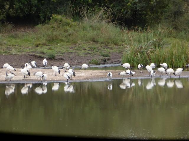 Nairobi National Park, Ibis sabrados en Nagolomon Reservoir