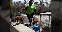 The primary animal shelter in Grand Bahama was hit with deadly storm surge nearing 20 feet high. Five feet of floodwaters filled the Humane Society of Grand Bahama as Hurricane Dorian devastated the island. More than 100 dogs and cats died. (Credit: Miami Herald) Click to Enlarge.