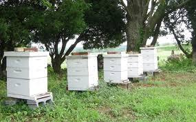 ruches dans la nature