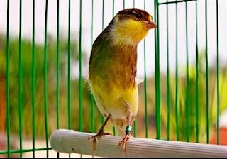 Last Ned Suara Burung Kenari Juara National Full Gacor 2014 Linoaworldwide S Blog