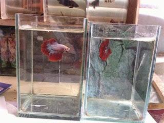 Cara Penjagaan Anak Ikan Laga Dengan Baik Dan Betul