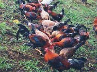https://www.economicfinancialpoliticalandhealth.com/2018/05/if-you-are-chicken-breeder-give-this.html