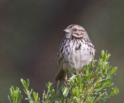 Photo of Song Sparrow on bush