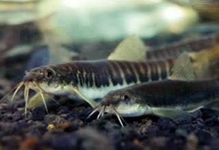 Umpan Ikan Uceng Sungai yang Simpel