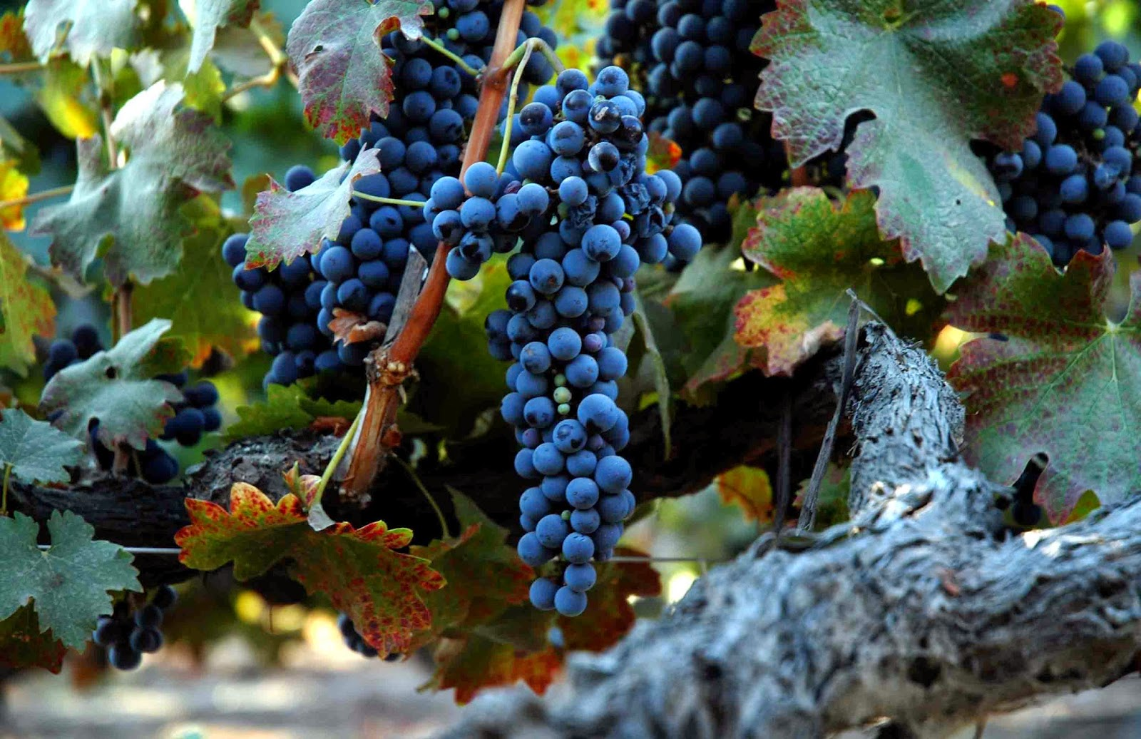 Wino 4 Life: Get to Know your Grapes Series - Syrah a.k.a. Shiraz