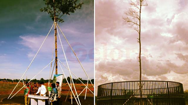 Pohon Langka yang Ditanam Jokowi Mati Disambar Petir