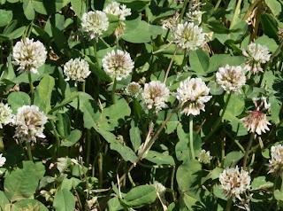 White Clover Flower Field