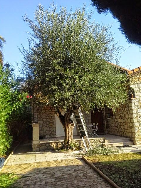 C 39 est le moment de tailler ses oliviers mon blog malin astuces conso recettes bons plans - Taille de l olivier en pot ...