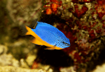 Ikan Hias Air laut Damselfish