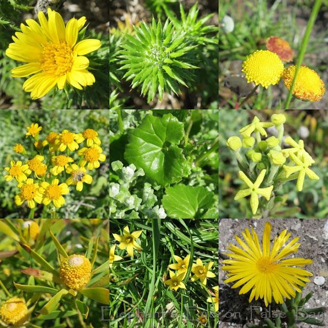 Yellow flowers at Kommetjie in September