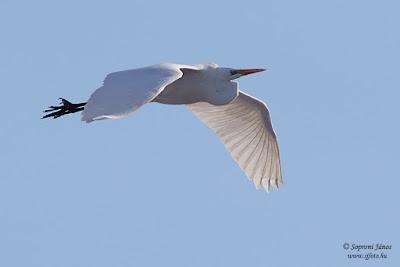 Nagy kócsag - Great Egret - Silberreiher - Egretta alba