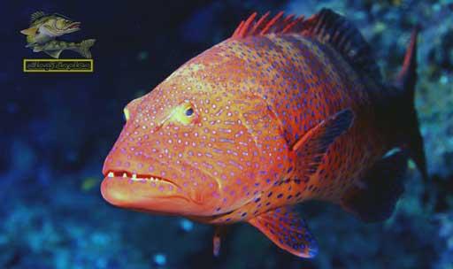 انواع سمك البحر الأحمر _ سمك الناجل