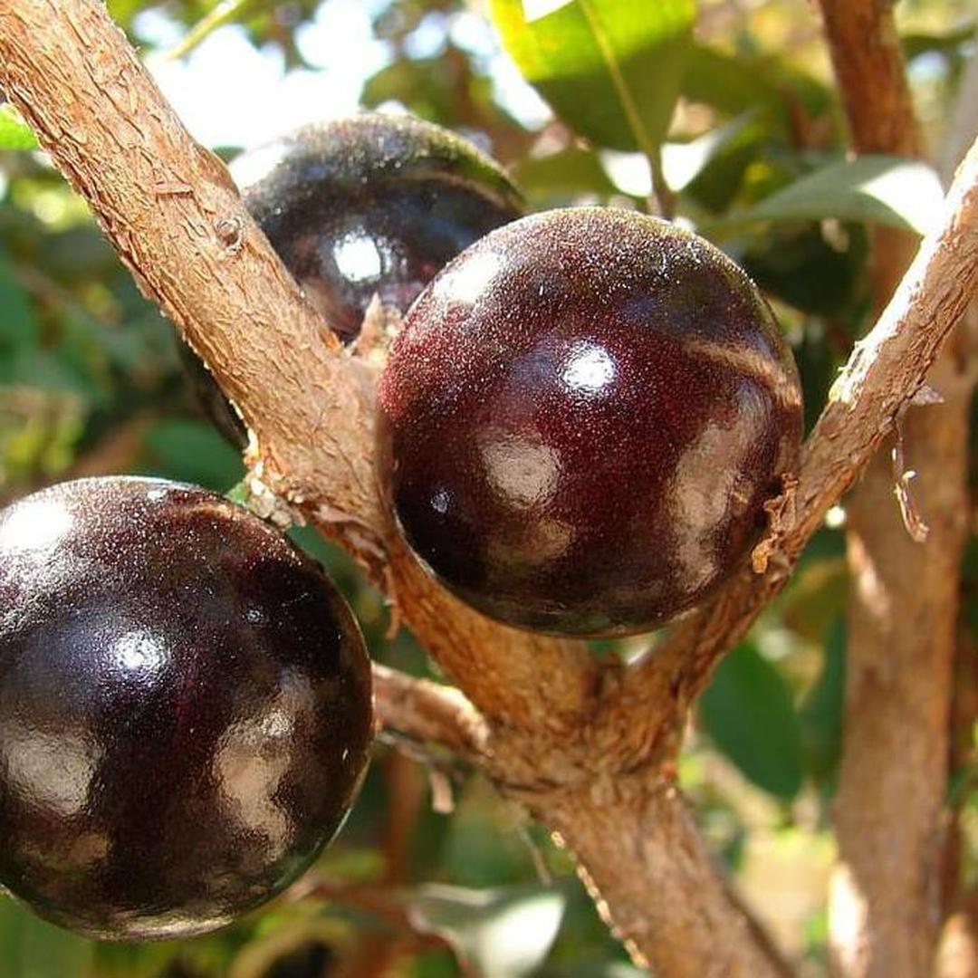 Stok banyak! J Bibit Pohon Anggur Brazil Buah Anggur Hitam Tanaman Jaboticaba Kota Bekasi #jual bibit buah buahan