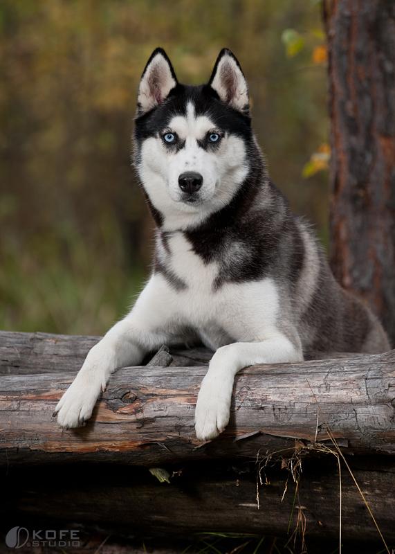 Hd Animal Wallpapers Siberian Husky Pictures Husky Photos