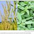 Essa erva daninha está evoluindo rápido e se tornando indestrutível