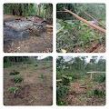 Breaking News....Rumah dan Tanaman Milik Warga Di Desa Muak, Dibakar dan Dirusak
