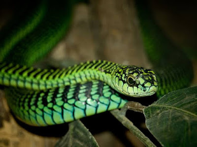 Boomslang-Snake-venom-causes-bleed-out-from-every-hole