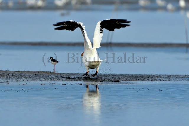 A Great White Pelican Taking off