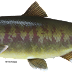 Health Benefits of Chum Salmon to Cure Various Diseases