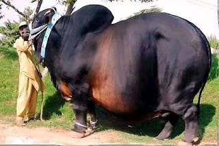 sapi terbesar didunia
