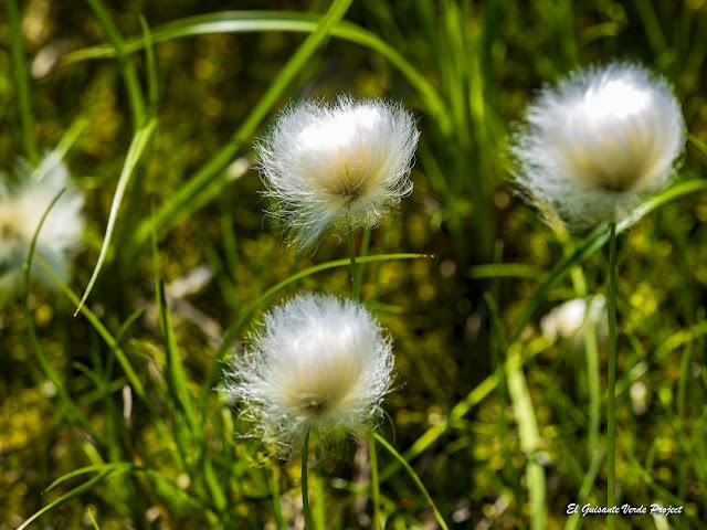 Algodón de las Turberas - Noruega, por El Guisante Verde Project