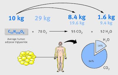 Чтобы похудеть на 10 кг жира, нужно вдохнуть 29 кг кислорода, выдохнуть 28 кг углекислого газа и вывести из организма разными способами 11 литров воды.
