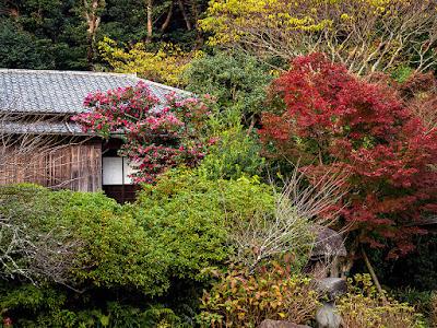 Sazanka (Camellia sasanqua) flowers: Kawakita Memorial Hall (Kamakura)