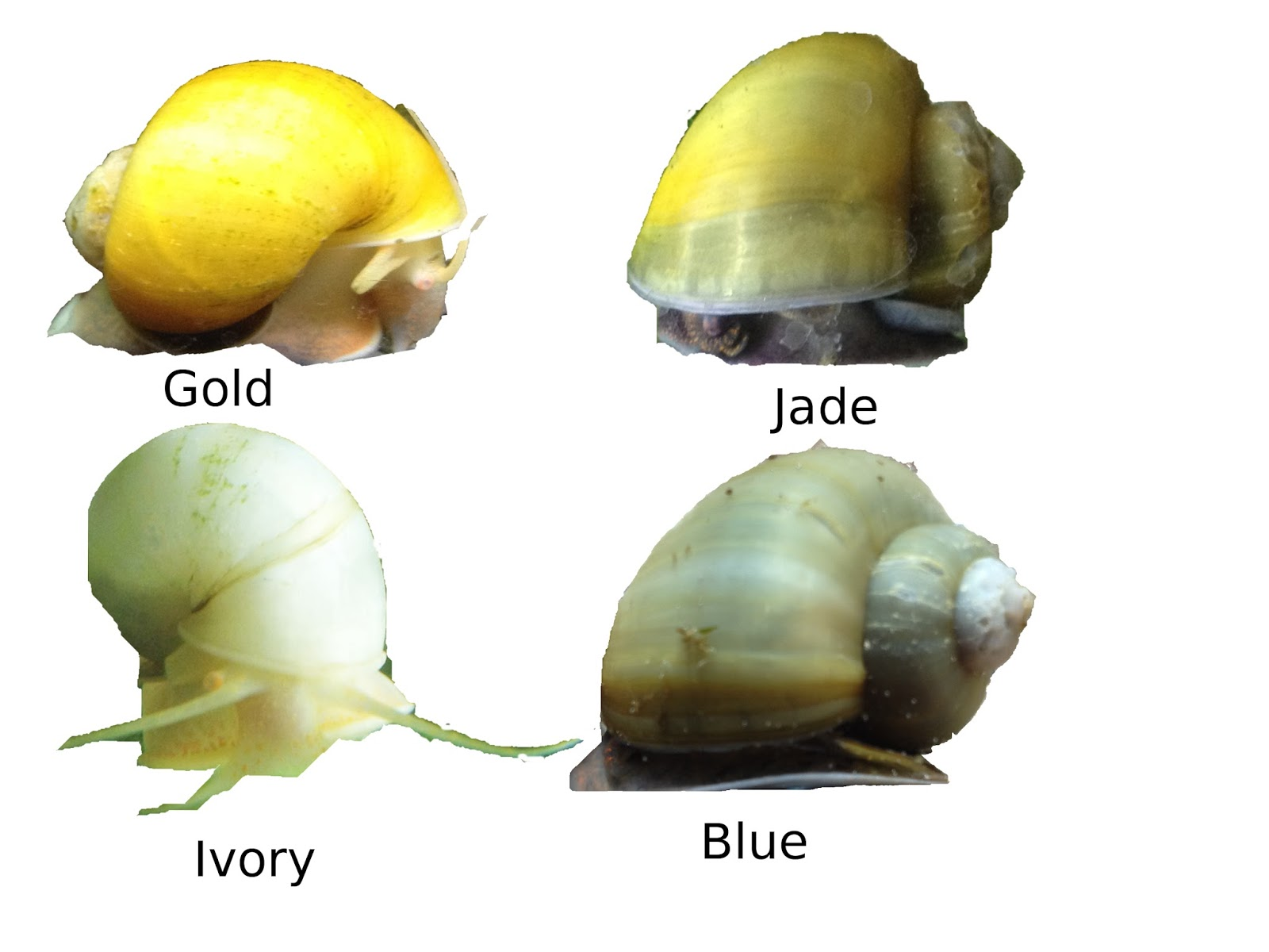 genetic diversity of golden apple snail Georginacooke@unswedu of neutral and adaptive genetic diversity within the context of  method to detect the invasive golden apple snail.