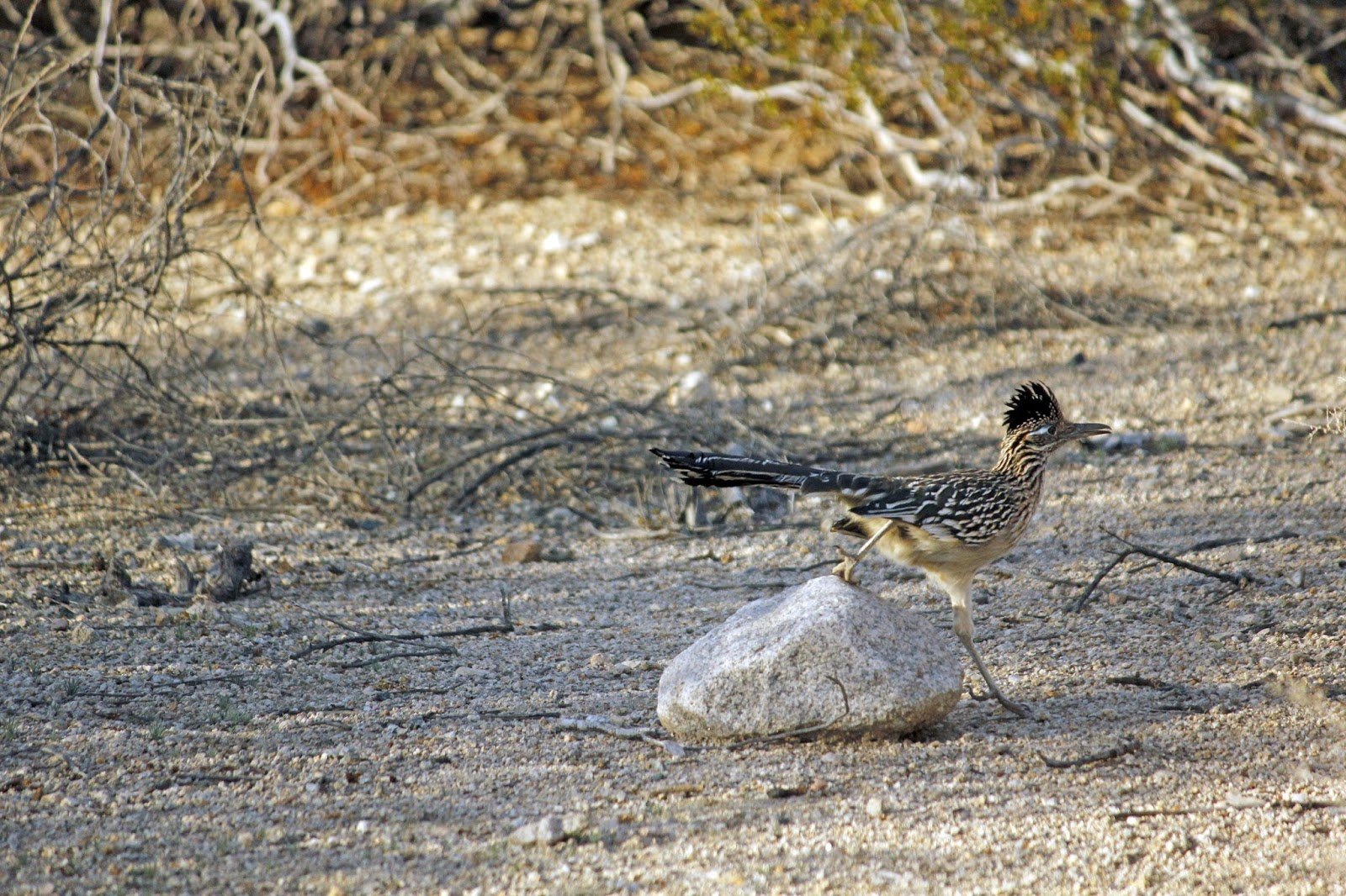 A roadrunner running fast over an obstacle on the road.