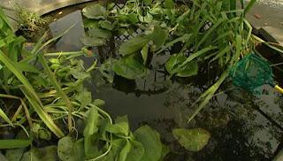 Dilys pond